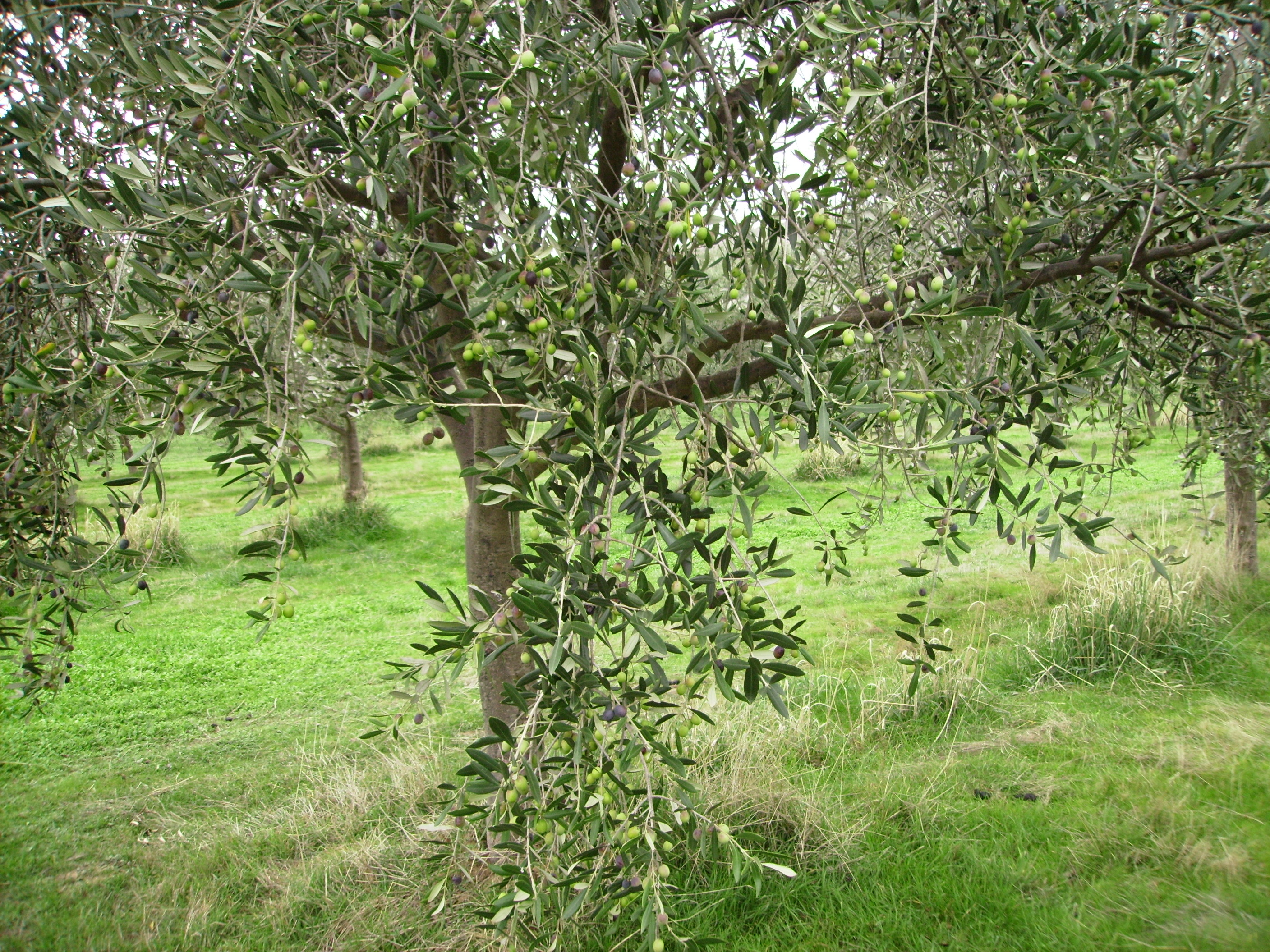 Olive Trees in Fruit