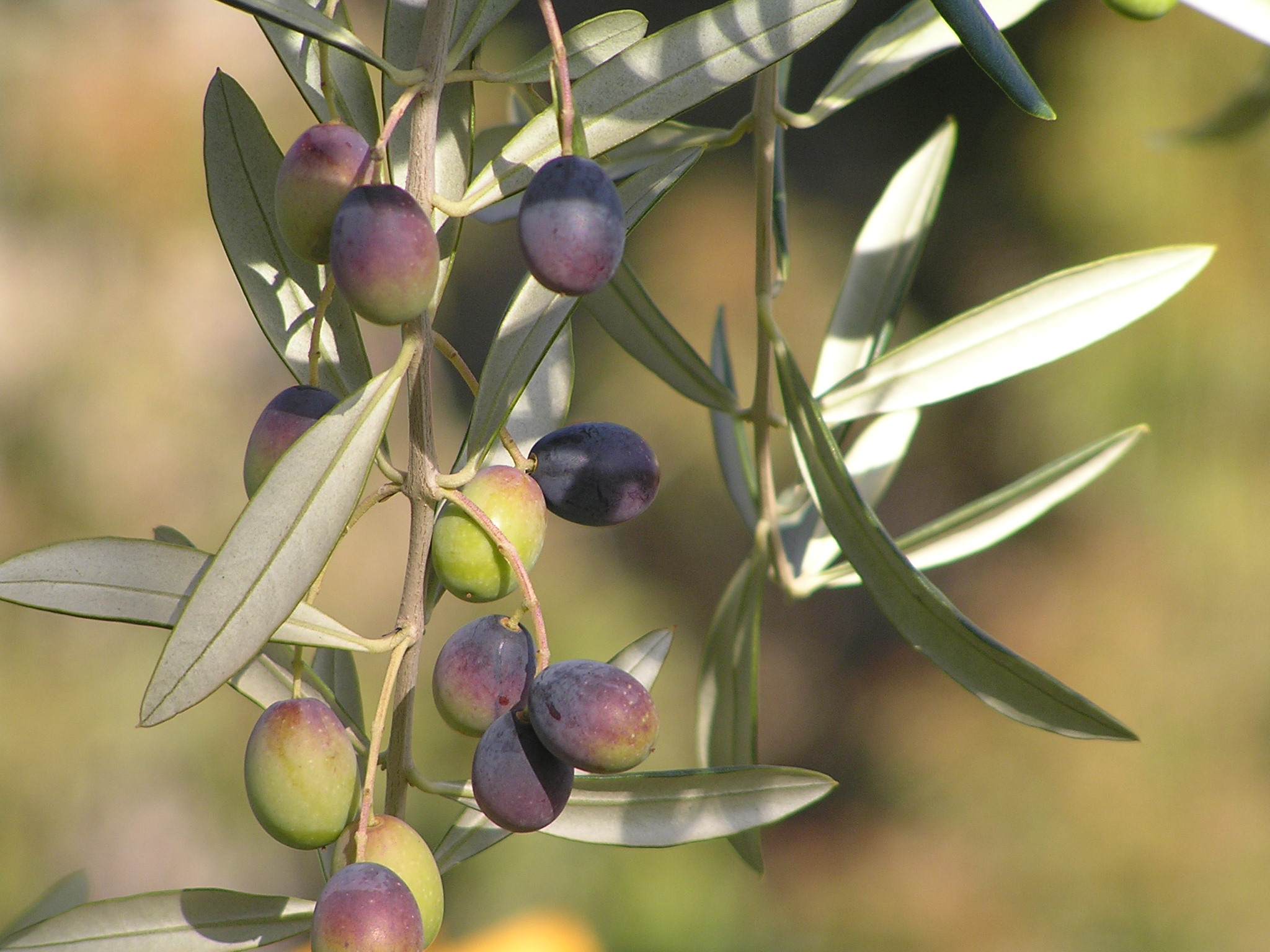 Correggiola Olives Ready for Picking