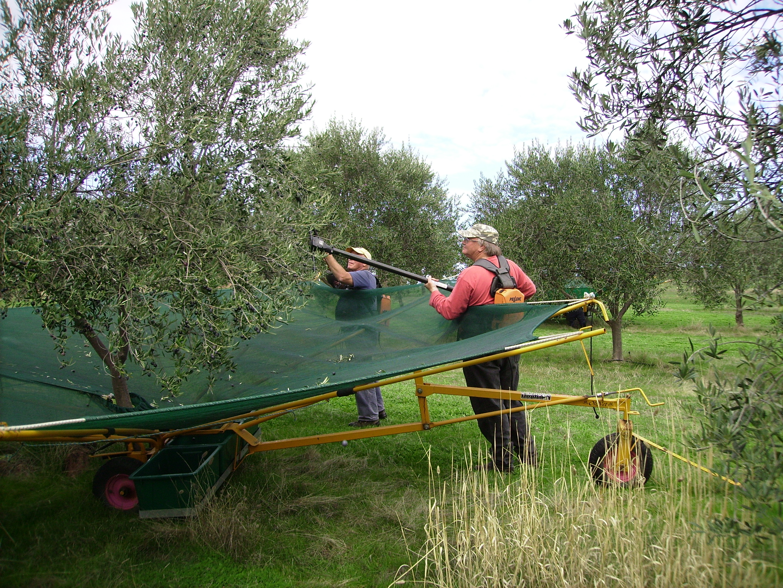 Harvesting the Frantoio
