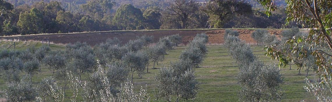 2001 Moonambel Gap Olive Grove