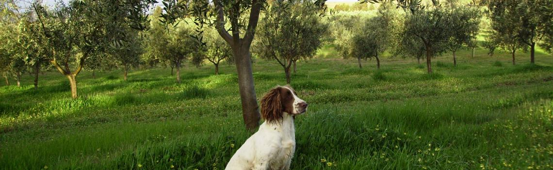 Honey (English Springer Spaniel)