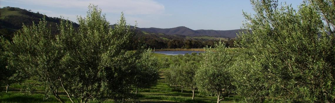 Moonambel Gap Olive Grove in the Pyrenees Ranges